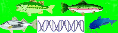 Ksu aquaculture online fish genetics for Fish genetic testing